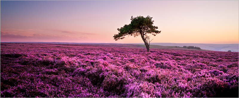 Heather at Sunset, Egton Moor